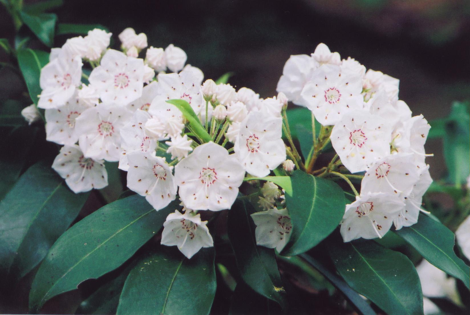 Valentine Flowers Mountain Laurel Flowers