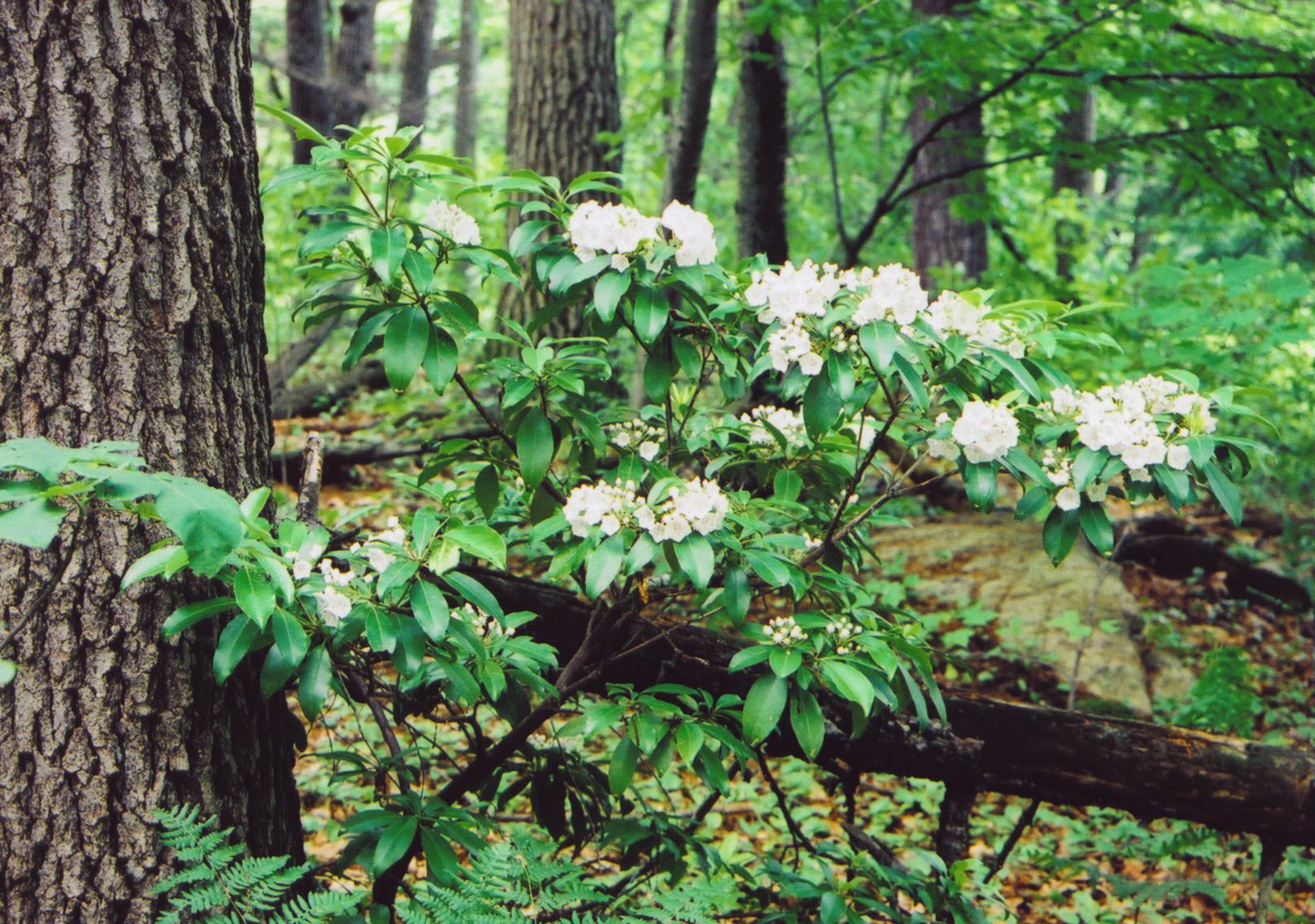 Mountain laurel crone